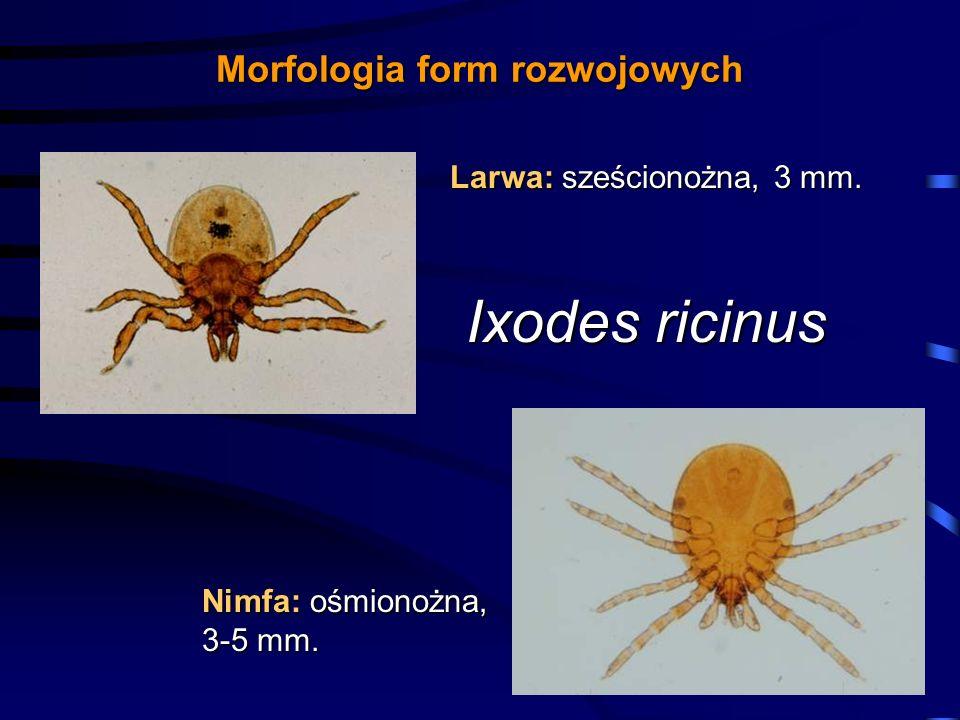 Morfologia form rozwojowych