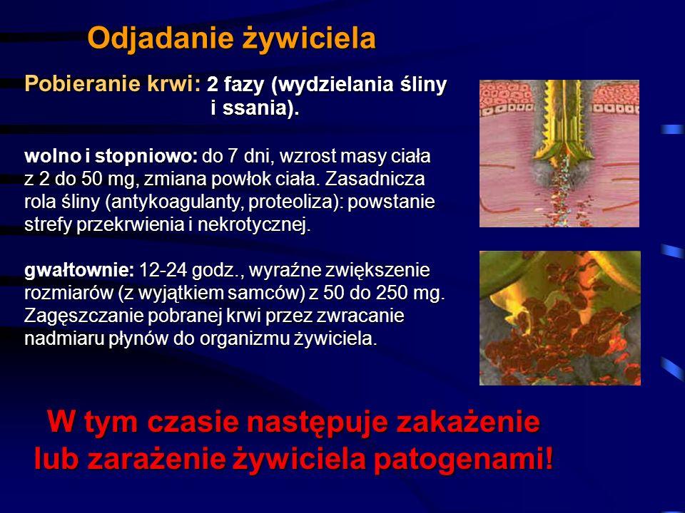 W tym czasie następuje zakażenie lub zarażenie żywiciela patogenami!