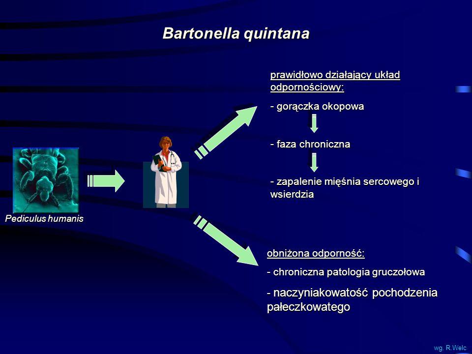 Bartonella quintana prawidłowo działający układ odpornościowy: