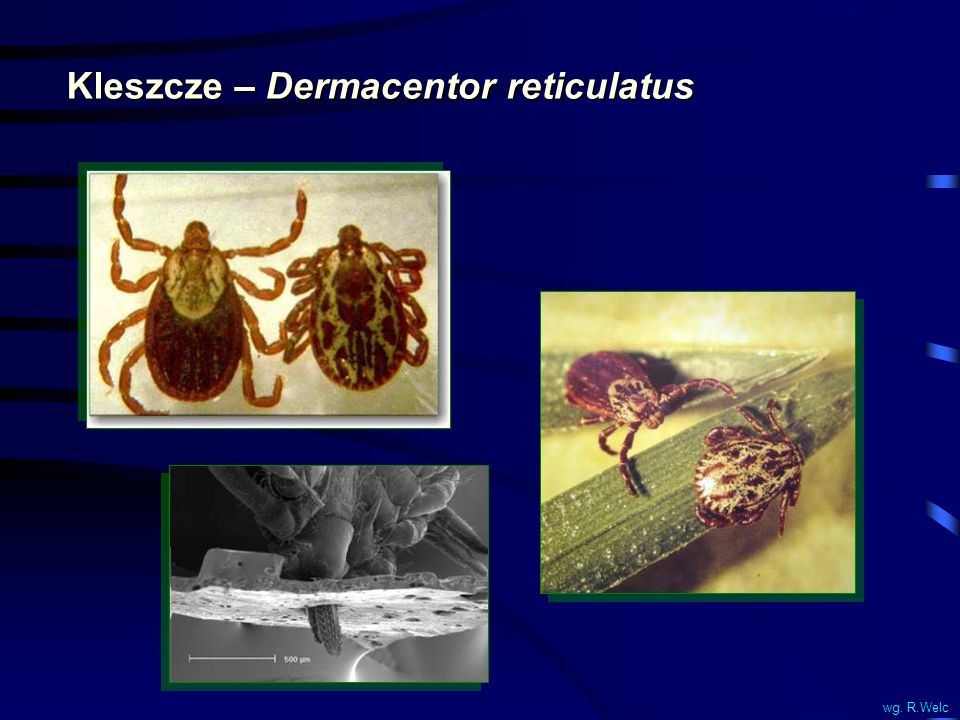 Kleszcze – Dermacentor reticulatus