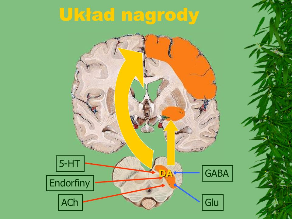 Układ nagrody 5-HT DA GABA Endorfiny ACh Glu