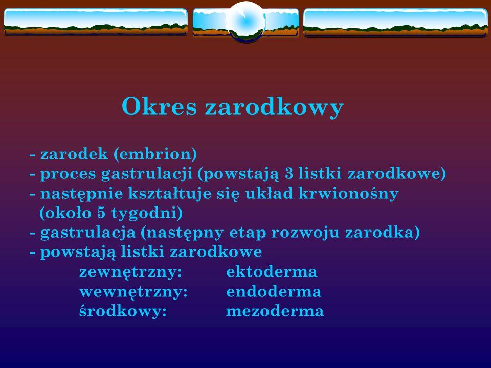 Okres zarodkowy - zarodek (embrion) - proces gastrulacji (powstają 3 listki zarodkowe) - następnie kształtuje się układ krwionośny (około 5 tygodni) - gastrulacja (następny etap rozwoju zarodka) - powstają listki zarodkowe zewnętrzny: ektoderma wewnętrzny: endoderma środkowy: mezoderma