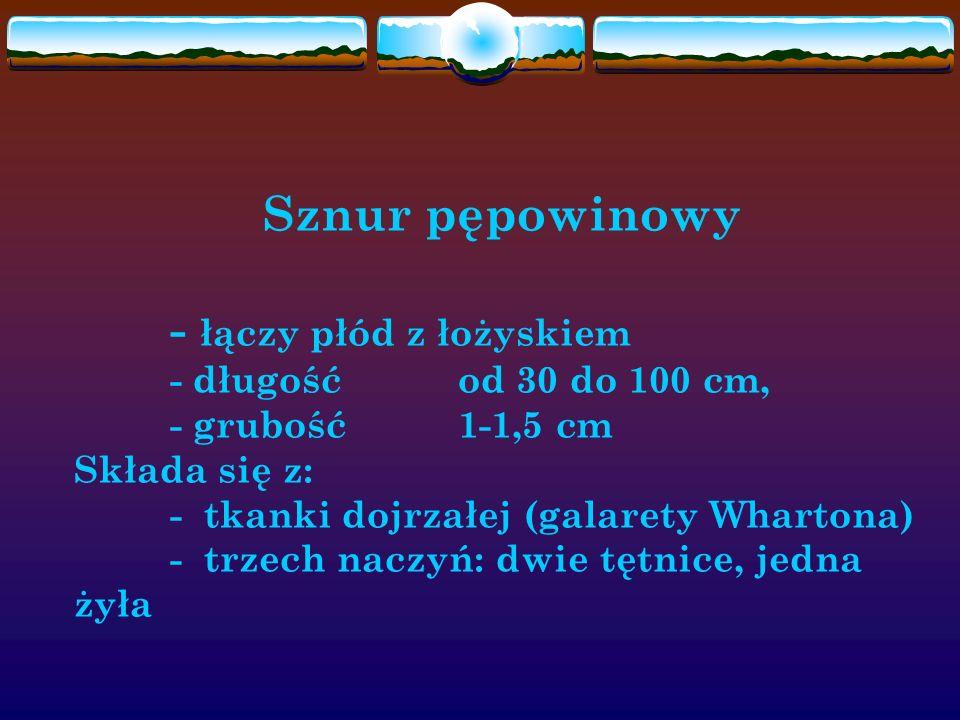 Sznur pępowinowy - łączy płód z łożyskiem - długość od 30 do 100 cm, - grubość 1-1,5 cm Składa się z: - tkanki dojrzałej (galarety Whartona) - trzech naczyń: dwie tętnice, jedna żyła