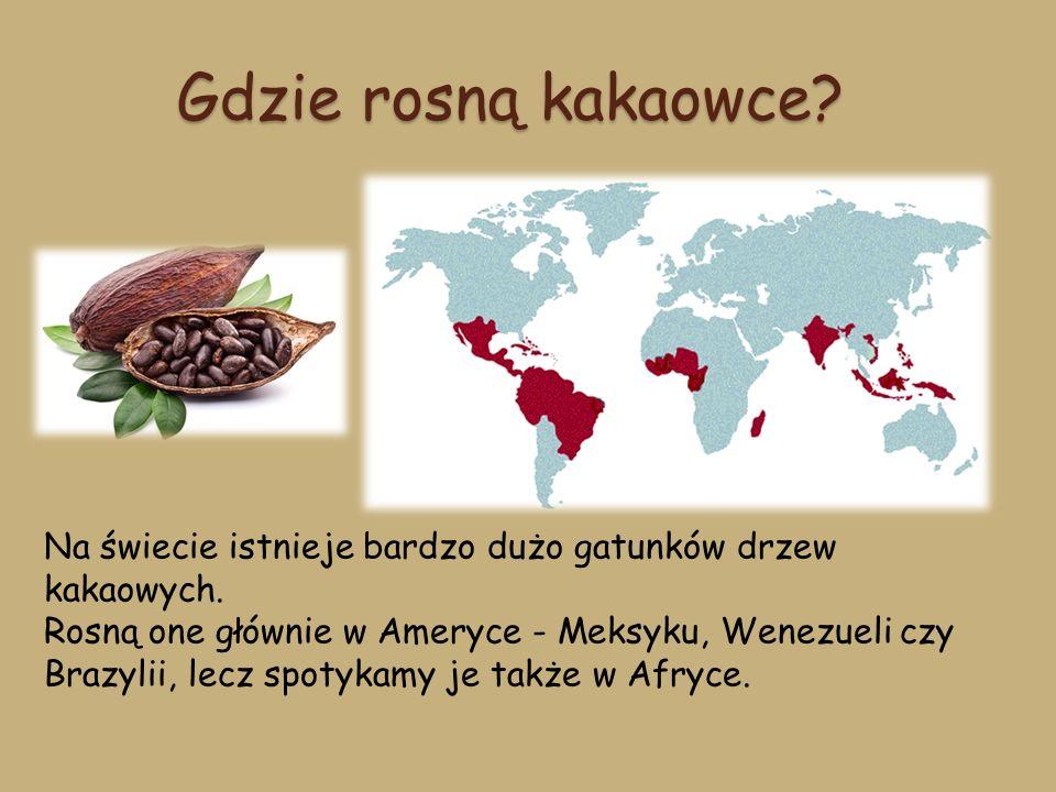 Gdzie rosną kakaowce Na świecie istnieje bardzo dużo gatunków drzew kakaowych.