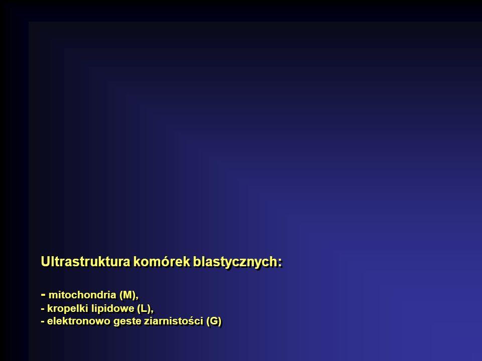 Ultrastruktura komórek blastycznych: - mitochondria (M), - kropelki lipidowe (L), - elektronowo geste ziarnistości (G)