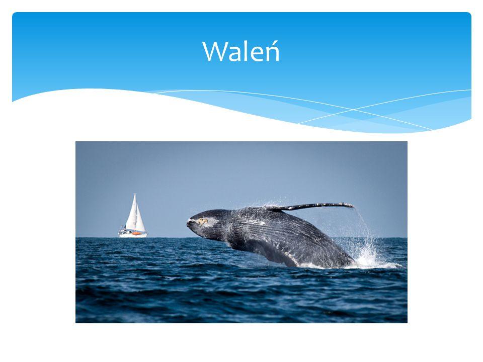 Waleń