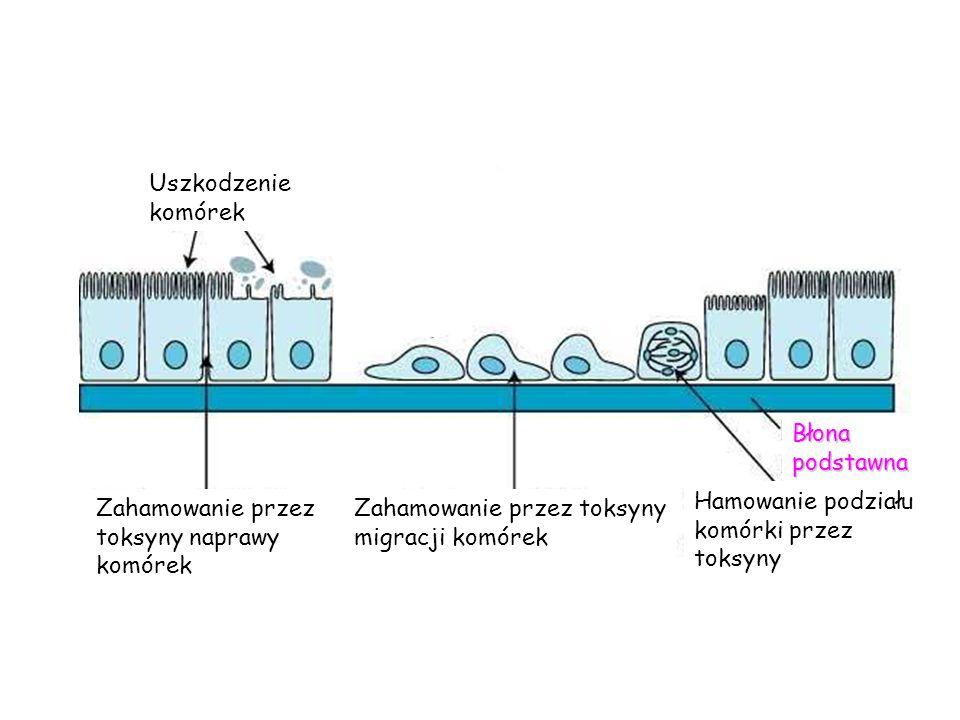 Uszkodzenie komórek Błona podstawna. Hamowanie podziału komórki przez toksyny. Zahamowanie przez toksyny naprawy komórek.