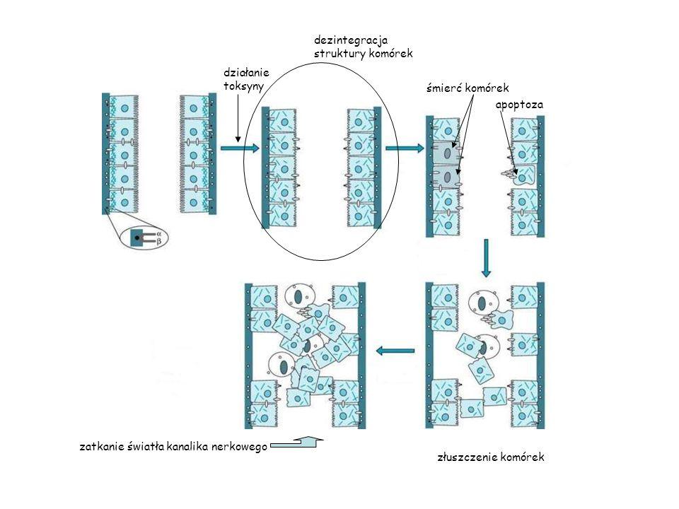dezintegracja struktury komórek