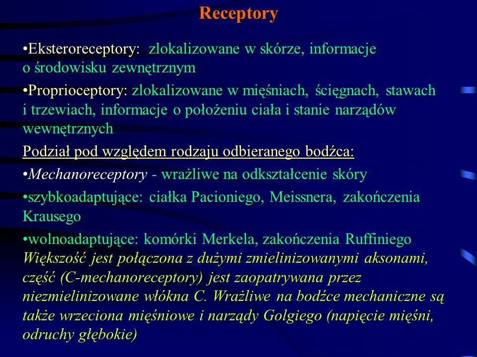 Receptory Eksteroreceptory: zlokalizowane w skórze, informacje o środowisku zewnętrznym.