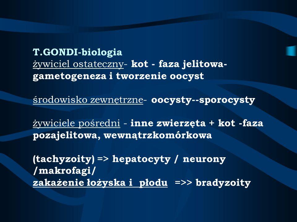 T.GONDI-biologia żywiciel ostateczny- kot - faza jelitowa-gametogeneza i tworzenie oocyst środowisko zewnętrzne- oocysty--sporocysty żywiciele pośredni - inne zwierzęta + kot -faza pozajelitowa, wewnątrzkomórkowa (tachyzoity) => hepatocyty / neurony /makrofagi/ zakażenie łożyska i płodu =>> bradyzoity