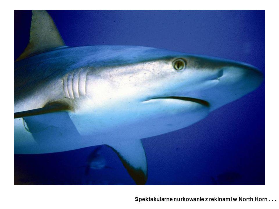 Spektakularne nurkowanie z rekinami w North Horn . . .