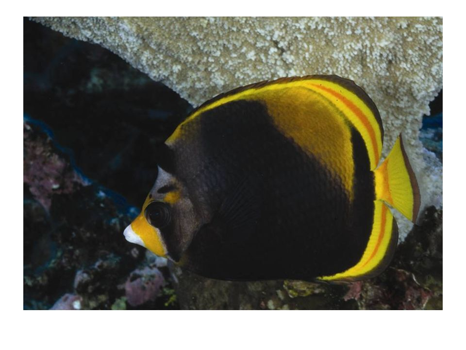 Black Butterfly Fish- reef top- 8-10 meters