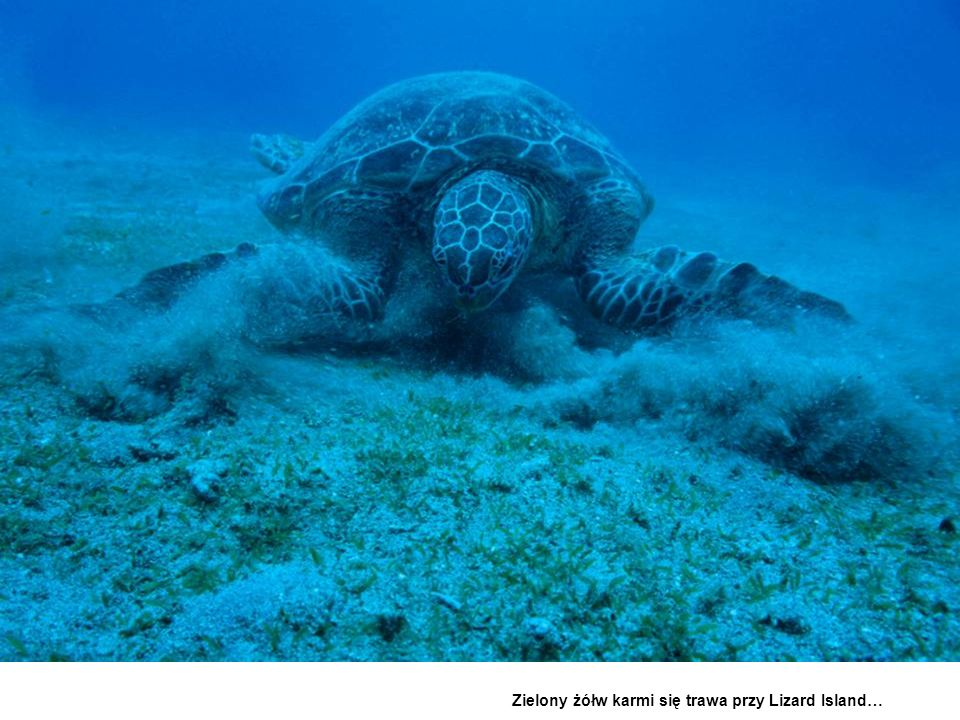 Green turtle, feeding on turtle grass off Lizard Island-Raine Is