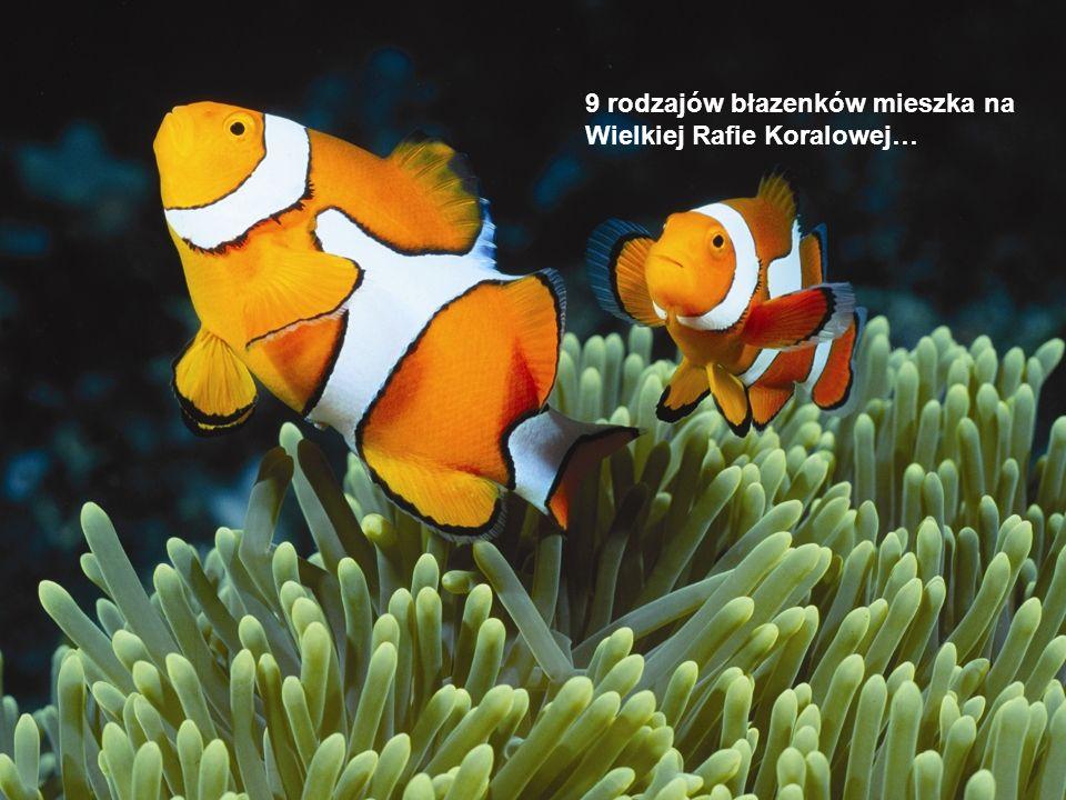 9 rodzajów błazenków mieszka na Wielkiej Rafie Koralowej…