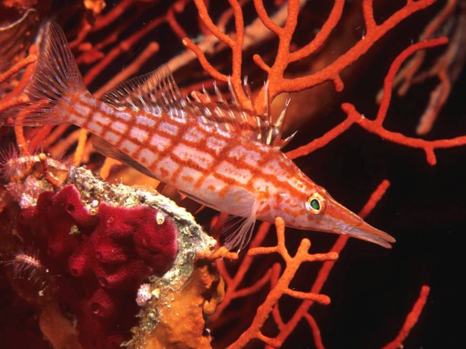 Long Nose Hawk fish, mimic red gorgonian,
