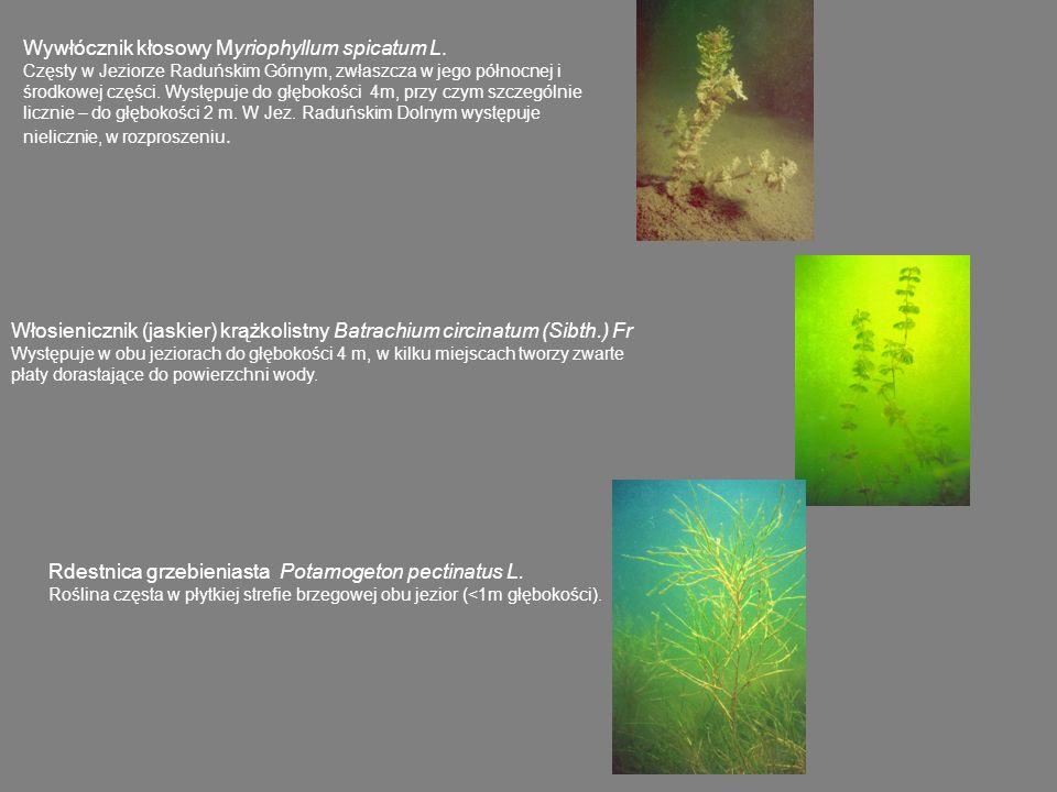 Wywłócznik kłosowy Myriophyllum spicatum L.
