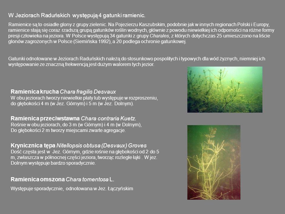 W Jeziorach Raduńskich występują 4 gatunki ramienic.