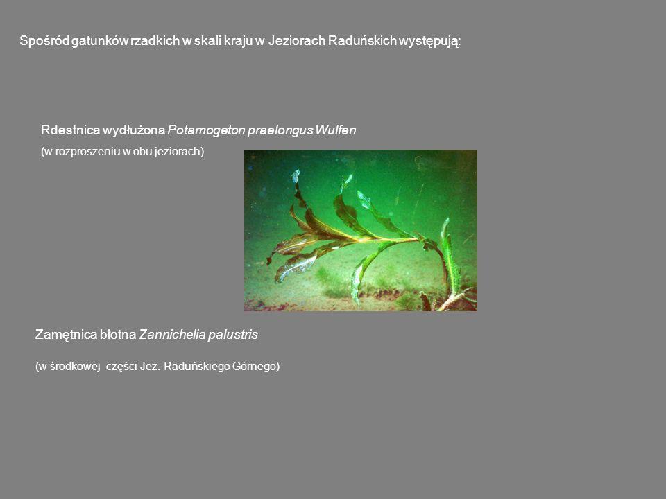 Rdestnica wydłużona Potamogeton praelongus Wulfen