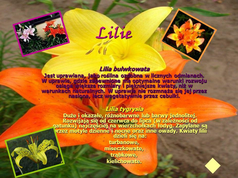 Lilie Lilia bulwkowata Lilia tygrysia