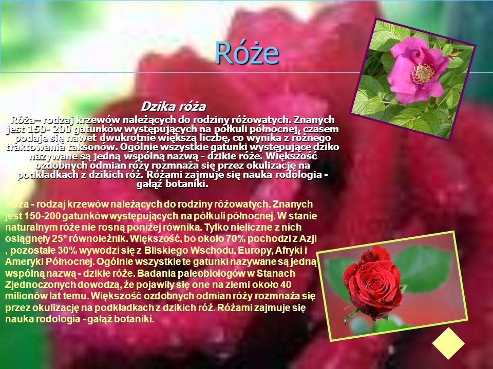 Róże Dzika róża.