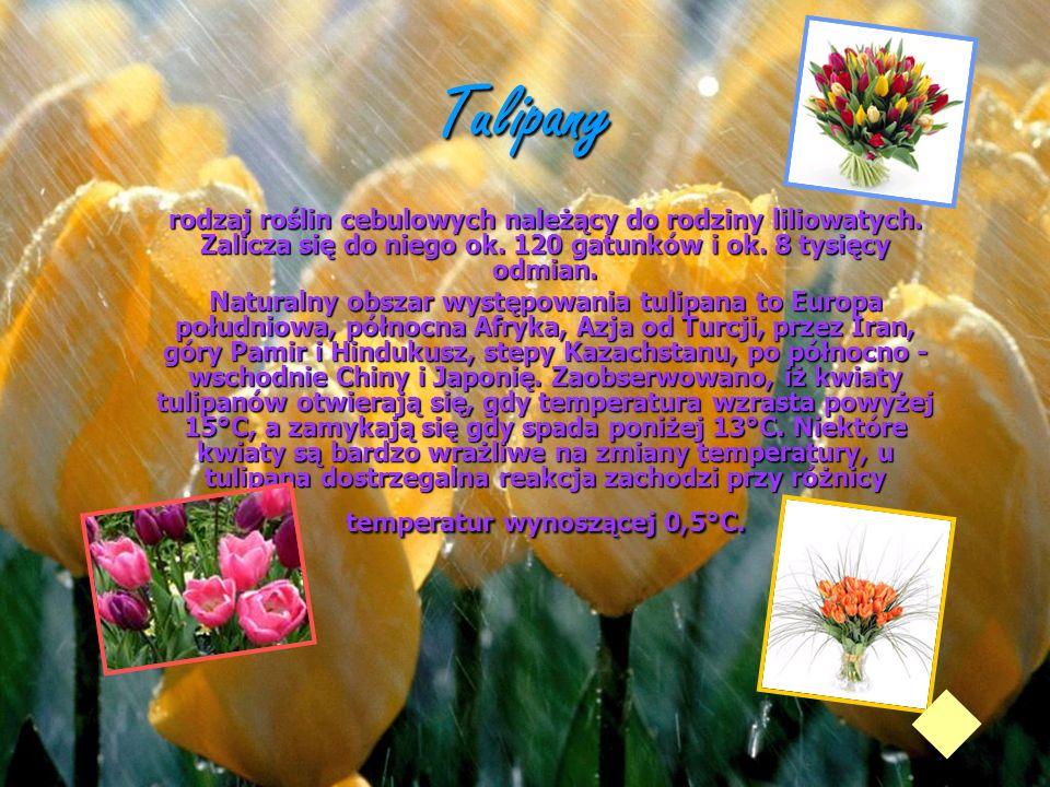 Tulipanyrodzaj roślin cebulowych należący do rodziny liliowatych. Zalicza się do niego ok. 120 gatunków i ok. 8 tysięcy odmian.
