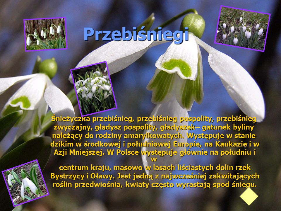 PrzebiśniegiŚnieżyczka przebiśnieg, przebiśnieg pospolity, przebiśnieg. zwyczajny, gładysz pospolity, gładyszek– gatunek byliny.
