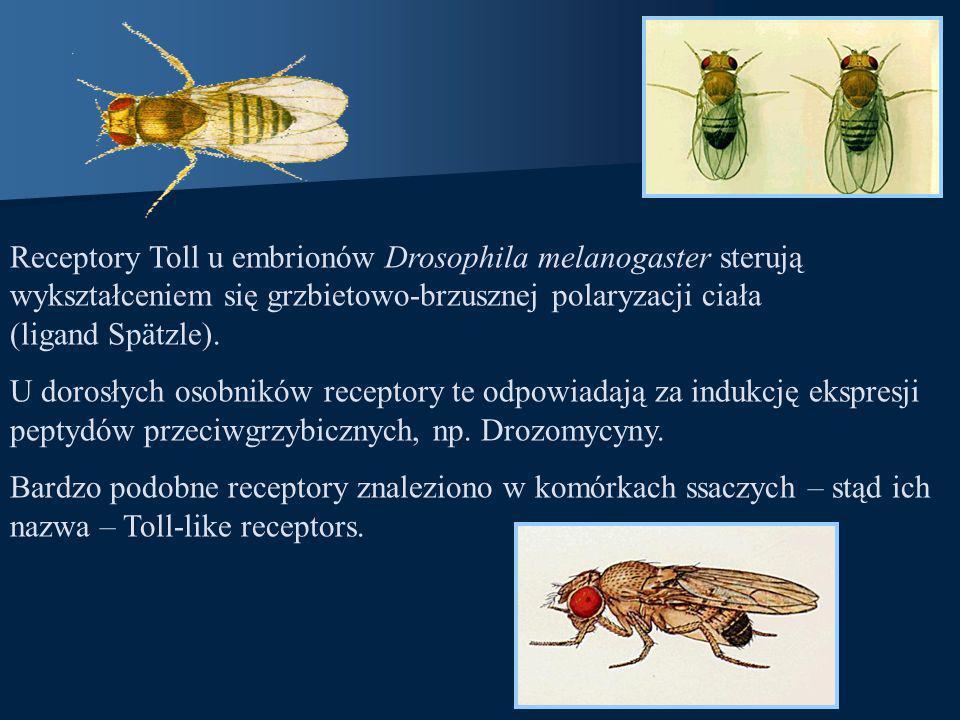 Receptory Toll u embrionów Drosophila melanogaster sterują wykształceniem się grzbietowo-brzusznej polaryzacji ciała (ligand Spätzle).