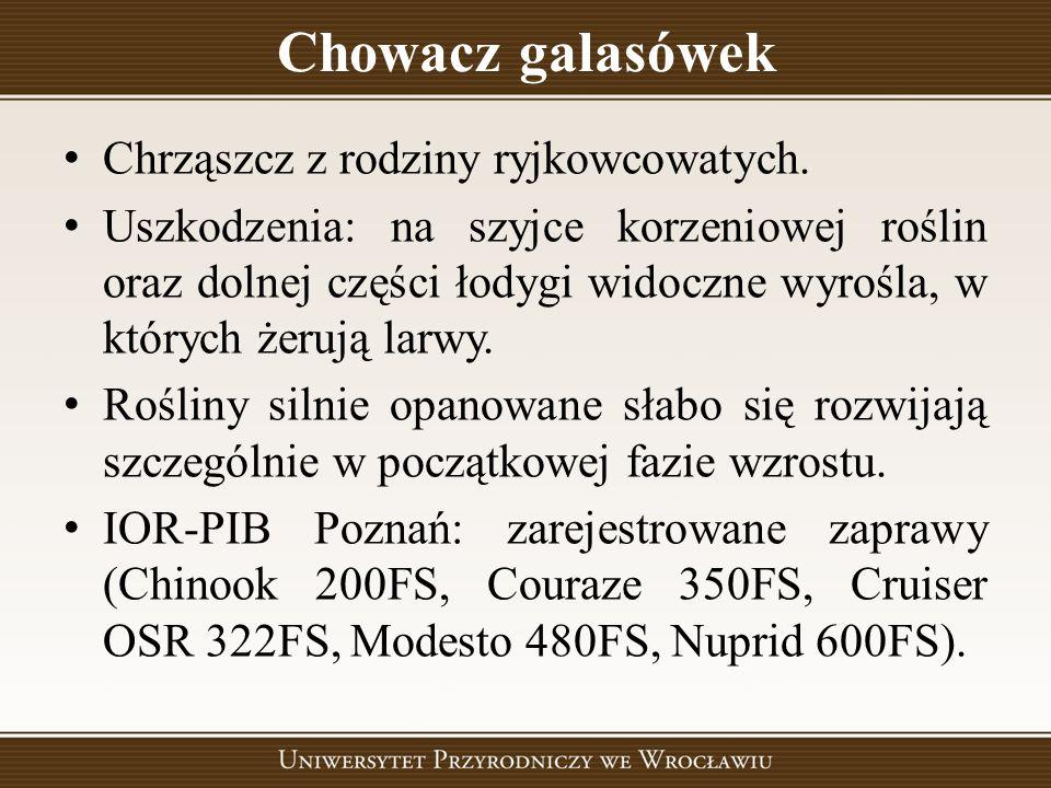 Chowacz galasówek Chrząszcz z rodziny ryjkowcowatych.
