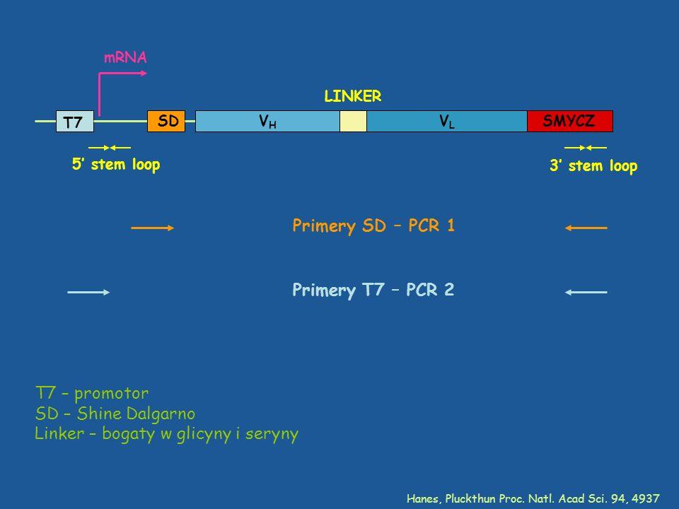 Linker – bogaty w glicyny i seryny