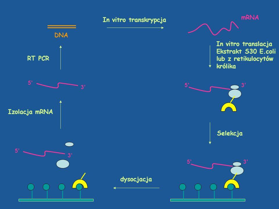 mRNA In vitro transkrypcja DNA In vitro translacja Ekstrakt S30 E.coli