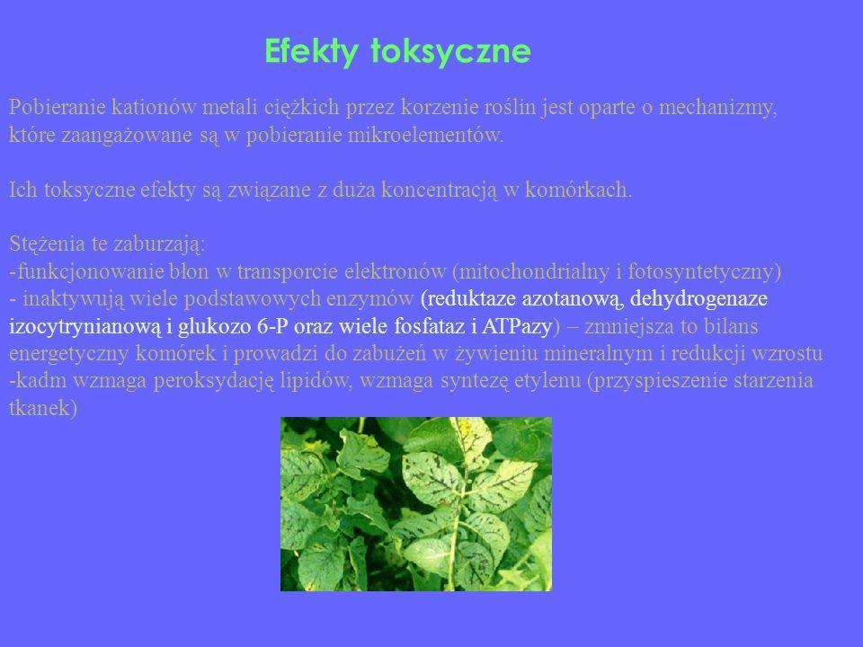 Efekty toksyczne Pobieranie kationów metali ciężkich przez korzenie roślin jest oparte o mechanizmy,