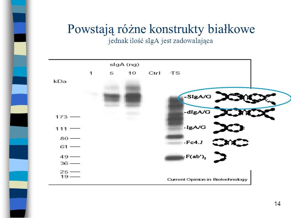 Powstają różne konstrukty białkowe jednak ilość sIgA jest zadowalająca