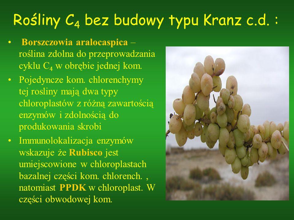 Rośliny C4 bez budowy typu Kranz c.d. :