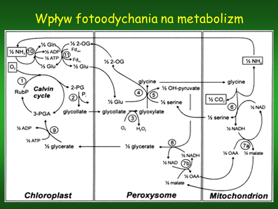Wpływ fotoodychania na metabolizm