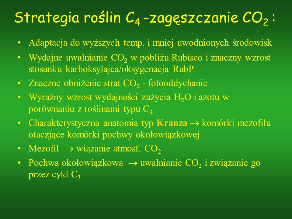 Strategia roślin C4 -zagęszczanie CO2 :