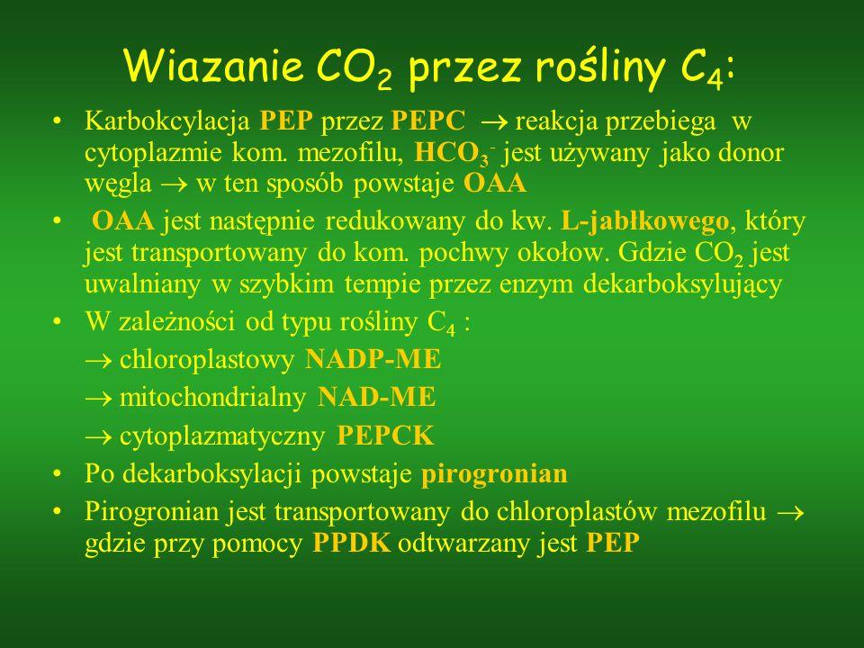 Wiazanie CO2 przez rośliny C4: