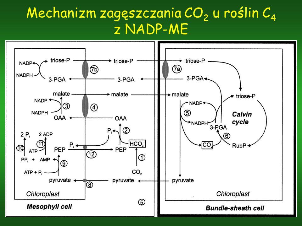Mechanizm zagęszczania CO2 u roślin C4 z NADP-ME