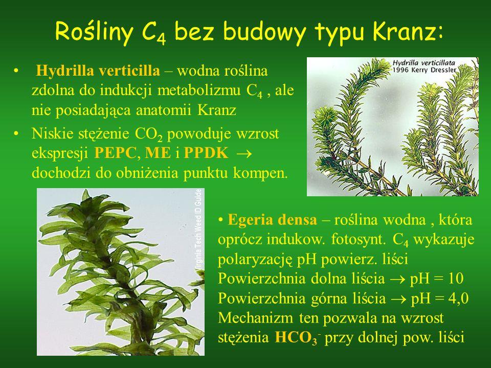 Rośliny C4 bez budowy typu Kranz: