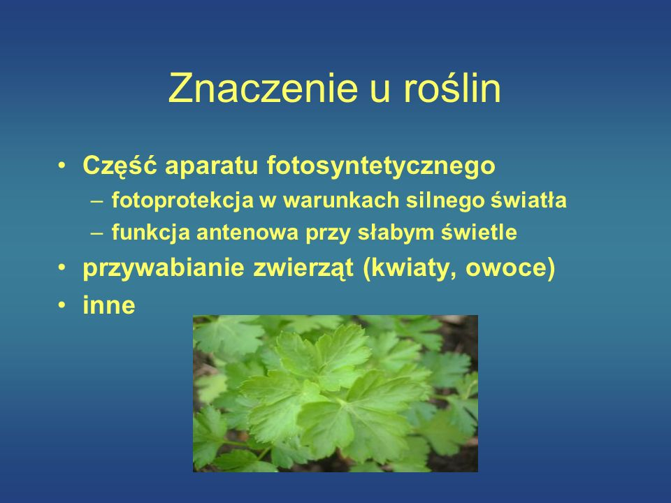 Znaczenie u roślin Część aparatu fotosyntetycznego