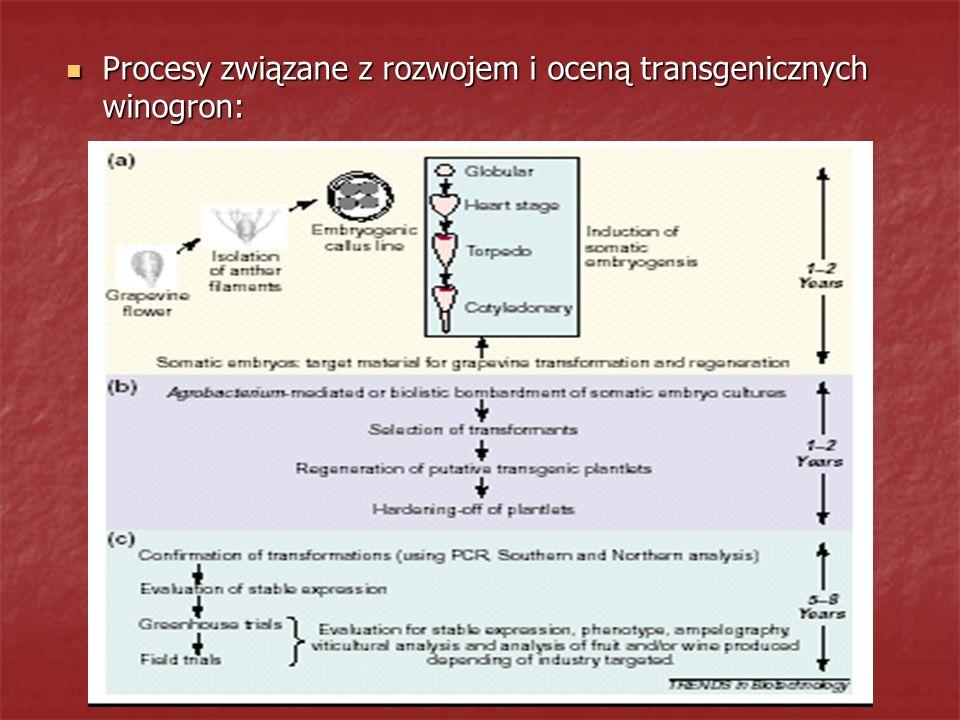 Procesy związane z rozwojem i oceną transgenicznych winogron: