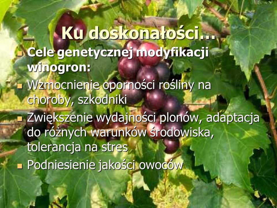 Ku doskonałości… Cele genetycznej modyfikacji winogron: