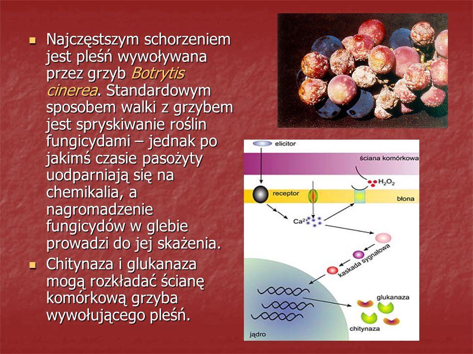 Najczęstszym schorzeniem jest pleśń wywoływana przez grzyb Botrytis cinerea. Standardowym sposobem walki z grzybem jest spryskiwanie roślin fungicydami – jednak po jakimś czasie pasożyty uodparniają się na chemikalia, a nagromadzenie fungicydów w glebie prowadzi do jej skażenia.