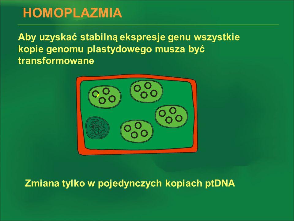 HOMOPLAZMIA Aby uzyskać stabilną ekspresje genu wszystkie kopie genomu plastydowego musza być transformowane.