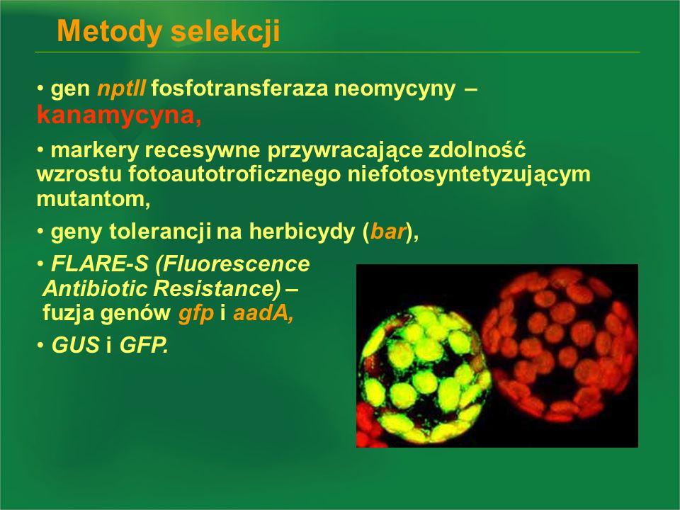 Metody selekcji gen nptII fosfotransferaza neomycyny – kanamycyna,