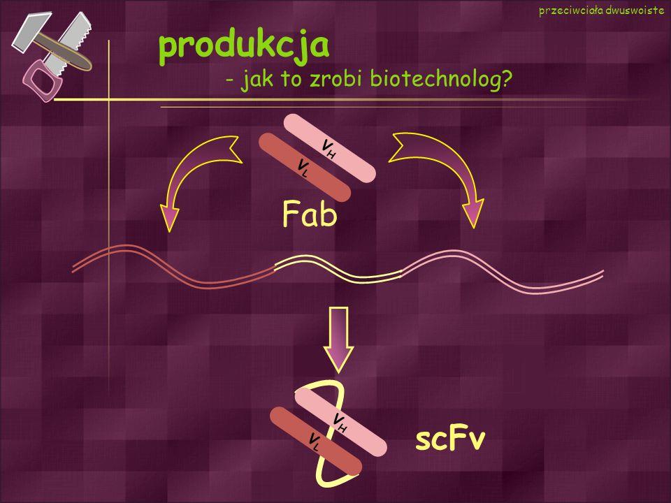 produkcja Fab scFv - jak to zrobi biotechnolog VH VL VH VL