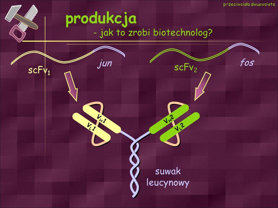 produkcja - jak to zrobi biotechnolog jun fos scFv2 scFv1