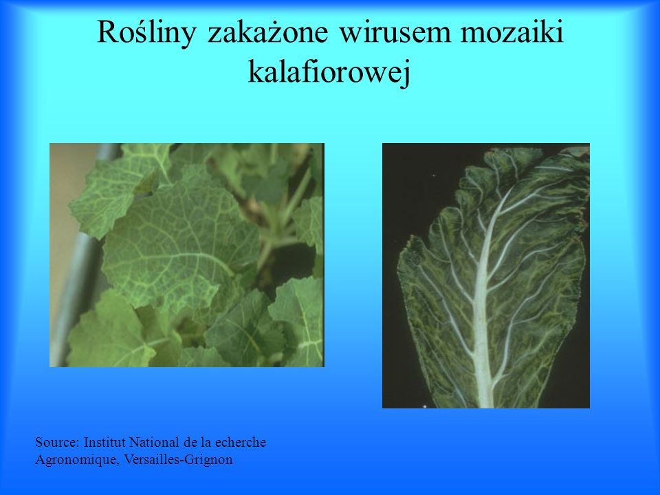 Rośliny zakażone wirusem mozaiki kalafiorowej