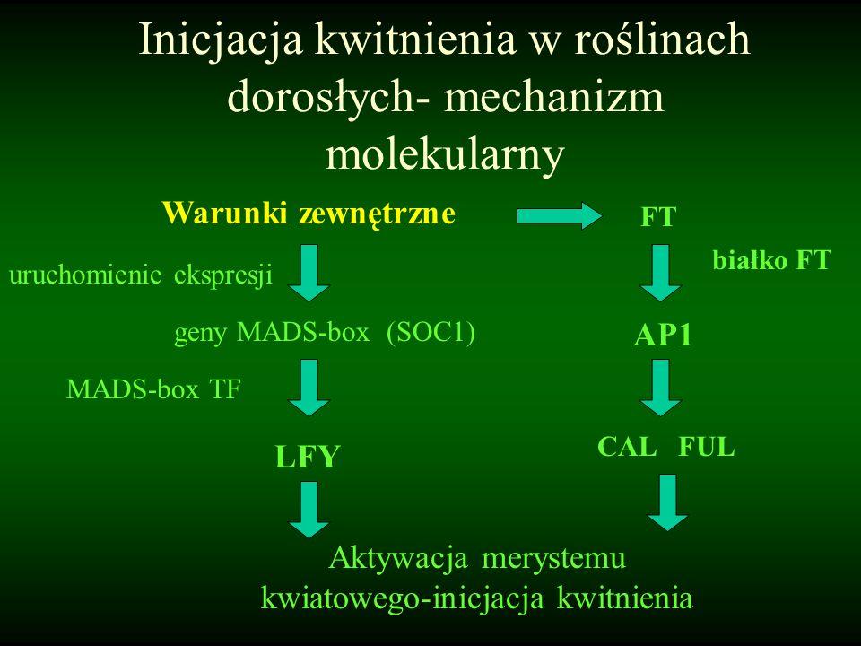 Inicjacja kwitnienia w roślinach dorosłych- mechanizm molekularny