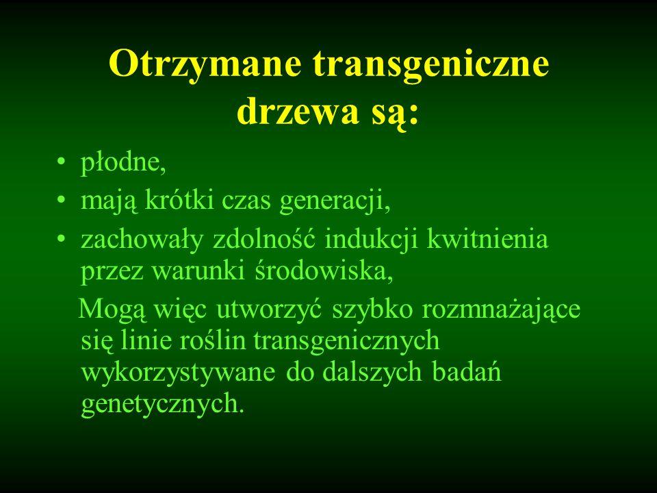 Otrzymane transgeniczne drzewa są: