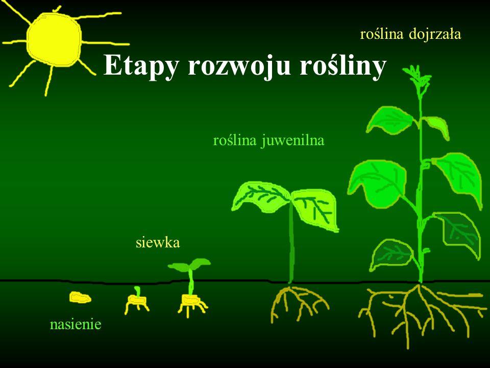 Etapy rozwoju rośliny roślina dojrzała roślina juwenilna siewka